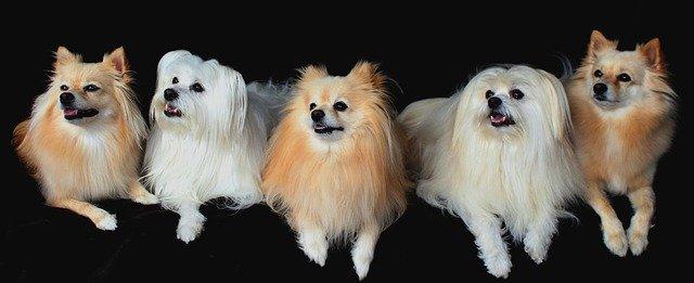 pět ležících psů