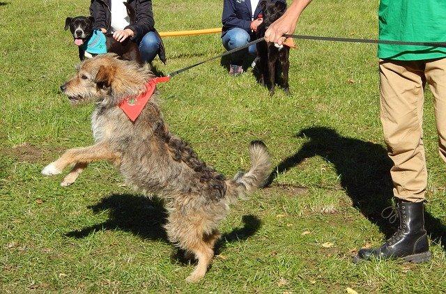 pes na výstavě