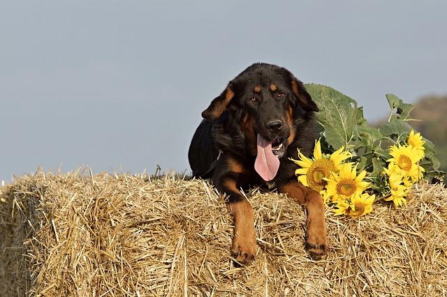 pes na slámě