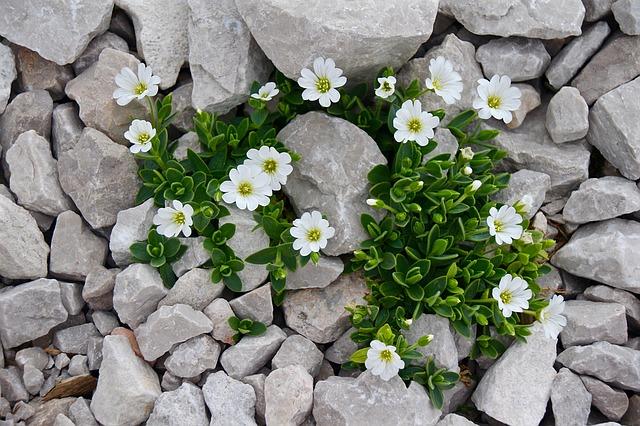 Bíle kvetoucí skalničky.jpg