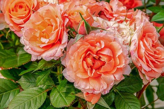 oranžová popínavá růže